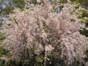 大阪城公園の桜!美しい(^-^)